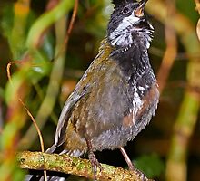 Eastern Whipbird by Robert Elliott