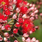 Eucalyptus RED by Joy Watson