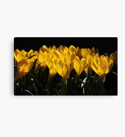 Spring Crocus Canvas Print