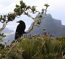 Currawong on Mt Gower, Lord Howe Island by opensea