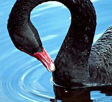 Black swan by mayalenka