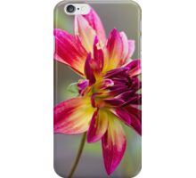 dahlia in garden iPhone Case/Skin