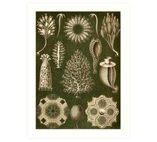 Calcispongiae - Ernst Haeckel  Art Print