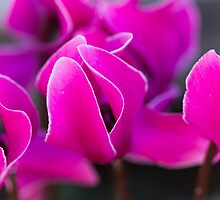 cyclamen in the garden by spetenfia