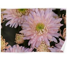 chrysanthemum in the garden Poster