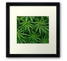Marijuana Cannabis Weed Pot Plants Framed Print