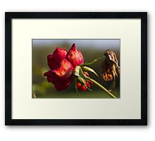 dried rose in the garden Framed Print