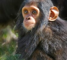 Baby Common Chimpanzee, Pan troglodytes Sticker