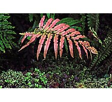 Red Fern New Zealand Photographic Print