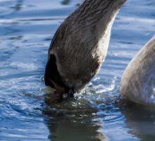 Swan drinking water Sticker