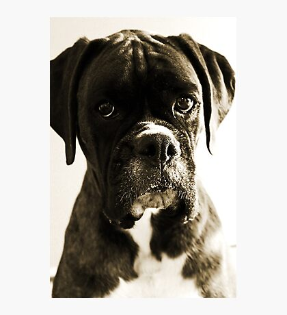 Luthien's Portrait In Sepia -Boxer Dogs Series- Photographic Print
