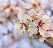 Almond flowers (II) by BeatrizGR