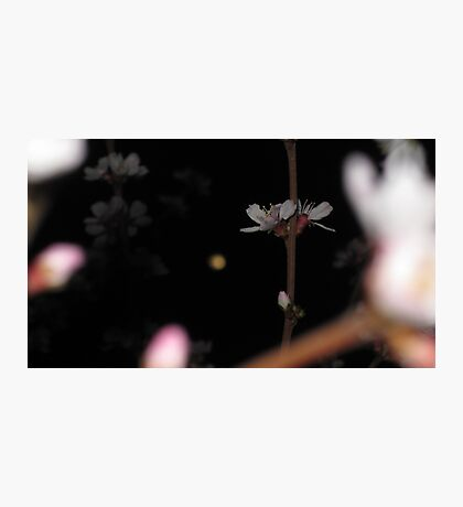 Bokeh Nanking Cherry Blossoms at Night Photographic Print