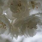 White Roses by DawnOrigins