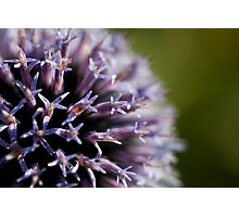 echinops (2) Photographic Print