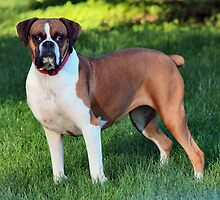 Beautiful Boxer by Keala
