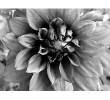 Dahlia -  B&W  ^ Photographic Print