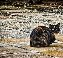 Tortoiseshell Cat  by Vicki Field