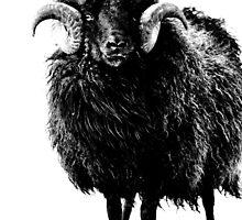 Black Ram by Vicki Field