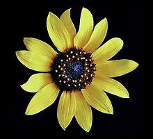 Common Sunflower by Floyd Hopper