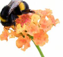 bumblebee on wildflower on white background Sticker