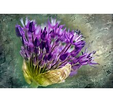 Allium Blossoms Photographic Print