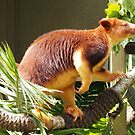 Tree Kangaroo in Sunlight by fab2can