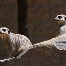 Two Meerkats on the watch by fab2can