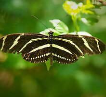 Zebra Longwing butterfly by SammyPhoto