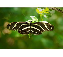 Zebra Longwing butterfly Photographic Print