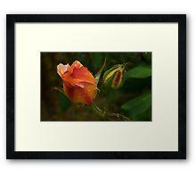 Apricot Rose Buds Framed Print