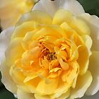 Wonderful Rose Collection By Joy Watson Photography by Joy Watson