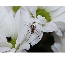 Spider Chrysanthemum Photographic Print