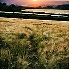 Sunset Over Cornish Gold by PlanetPenwith