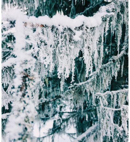 Wintertime - Closeup of Frost on Moss Hanging From Fir Tree Sticker