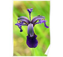 Iris - Ness Gardens, Ness, The Wirral Poster