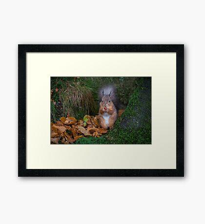 Red squirrel portrait Framed Print