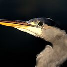 Grey Heron  by larry flewers