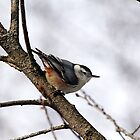 Perched Nuthatch by Debbie Oppermann
