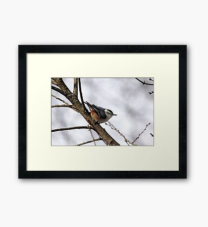 Perched Nuthatch Framed Print
