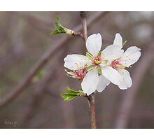 Almond flowers (III) Photographic Print