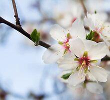 Almond flowers (IV) by BeatrizGR