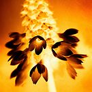 Primula Vialii in Gold by heidiannemorris