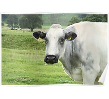 Cow Looks Up From Grazing Poster