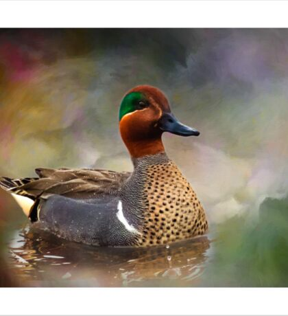 Green-winged Teal Drake Sticker