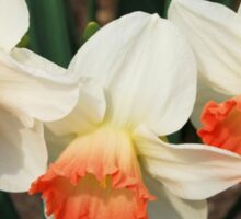 Three White Daffodils with Orange Sticker
