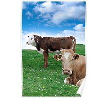 Irish cattle feeding on the green grass Poster