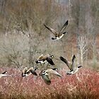 Canada Geese by Christina Rollo