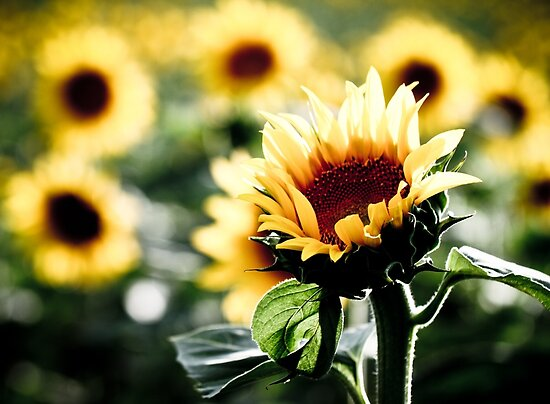 Sunflowers make me smile by Jen Wahl