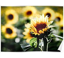 Sunflowers make me smile Poster